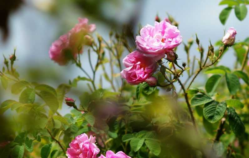 розово масло от роза